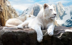white-lion-p000125-medium-400x400-imae6bq9xkkcvhjs